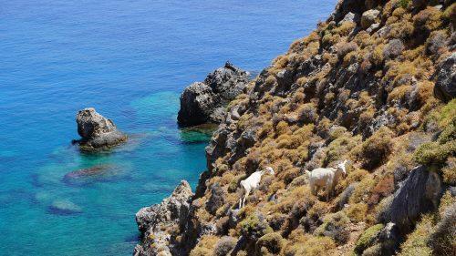 Cabras en la costa sur de Creta