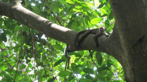 Mono descansando en un árbol