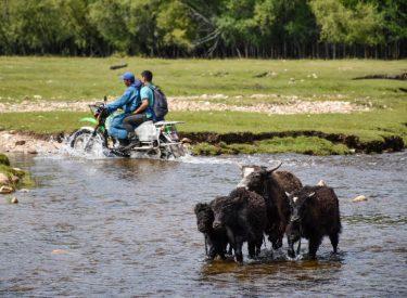 Yaks cruzando un río