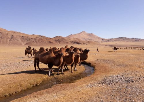 Camellos en la región de Bayan-Ölgii