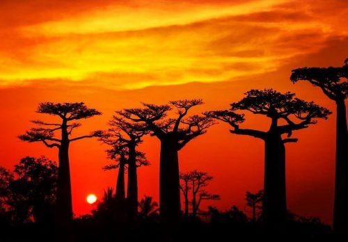 Sabana de Baobabs