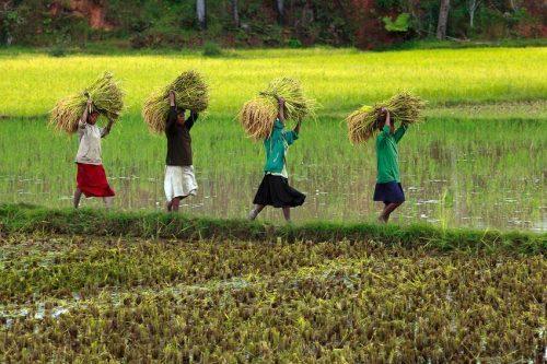 Recogiendo el arroz