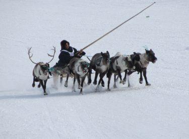Carrera de trineo de renos en Aksarka