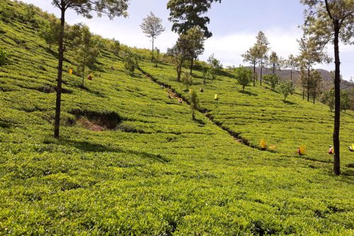 Campos de té en Nuwara Eliya