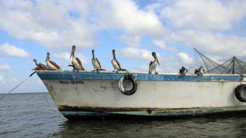 Barca y pelícanos en Livingston