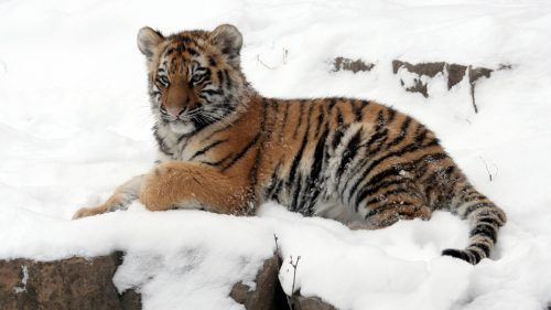 Cachorro Tigre Amur