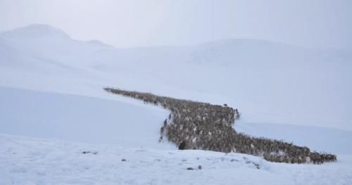 Migración renos