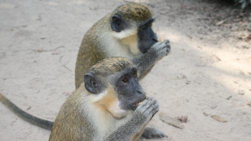 Monos en Abuko