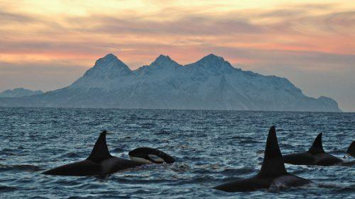 Orcas Lofoten