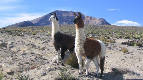 Llamas frente al Cerro Simbral