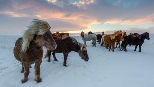 Caballos islandeses