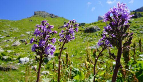 Flores alpinas