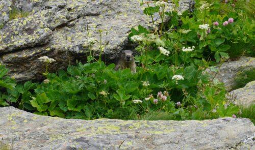 Marmota alpina en su escondite