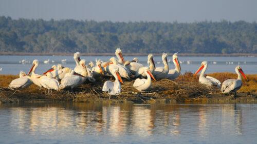 Pelicanos dálmatas en el Parque Nacional Divjaka-Karavasta